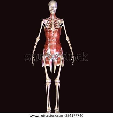 Male skeleton muscle - stock photo