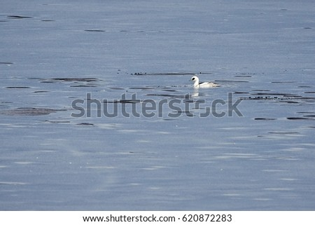 Male smew swimming in icy water of a frozen lake in winter.