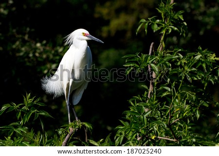 Male Snowy Egret in breeding plumage shows off his unusual pink lores - stock photo