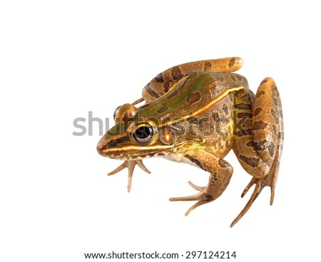Southern Leopard Frog Drawing Male Southern Leopard Frog
