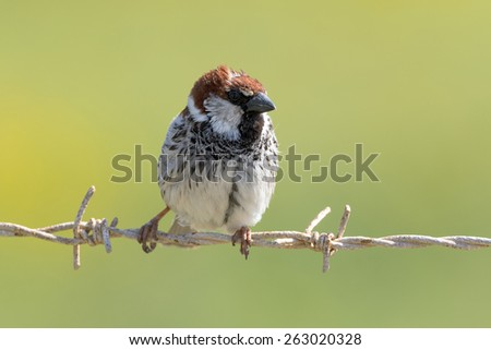 Male Sparrow on barbed wire - stock photo