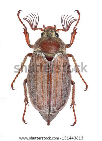 Male specimen of Melolontha hippocastani cockchafer, isolated on white background