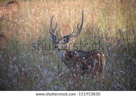 Male Spotted Deer - stock photo