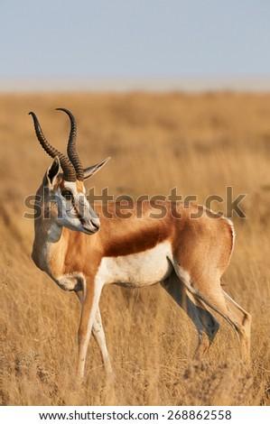 Male Springbok vertically in the savannah of Etosha National Park - stock photo