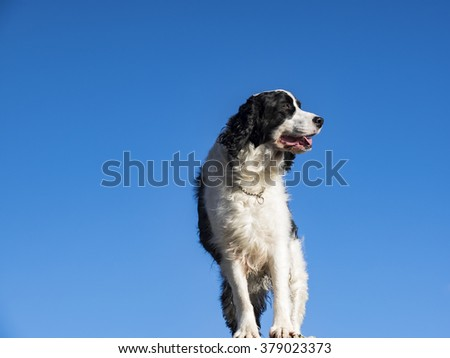 Male Springer Spaniel perched up on a ledge looking over the ocean.
