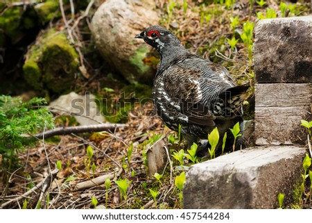 Male Spruce Grouse standing beside some old stairs. - stock photo