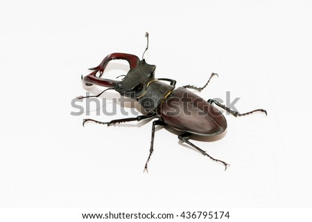 Male stag beetle isolated on white background
