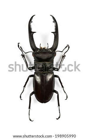 Male stag-beetle photographed from above, isolated on white background