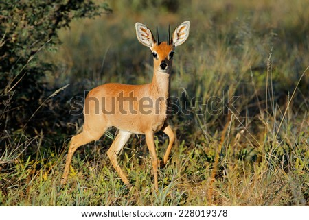 Male steenbok antelope (Raphicerus campestris) in natural habitat, South Africa - stock photo