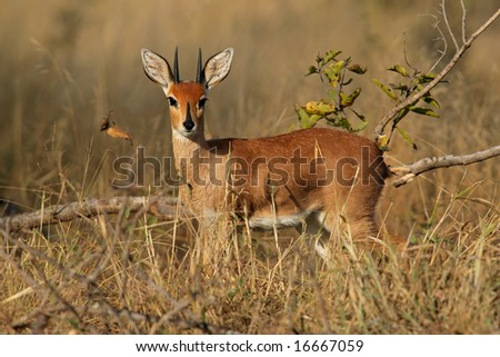 Male steenbok antelope, (Raphicerus campestris), Kruger National Park, South Africa - stock photo