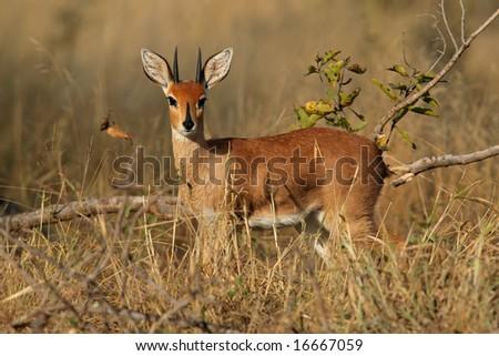 Male steenbok antelope, (Raphicerus campestris), Kruger National Park, South Africa - stock photo