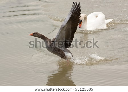 Male swan encourages grey-lag goose to leave his territory