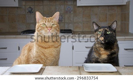 Male Tabby cat and Female Tortoiseshell or Tortie Tabby cat sitting at the counter with an empty plate waiting for food. Looking intently towards oncoming meal. Waiting. - stock photo