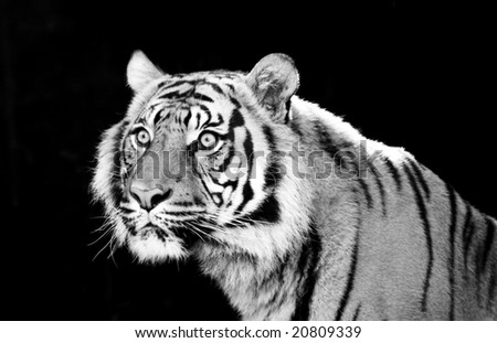 Male tiger with striking green eyes - stock photo
