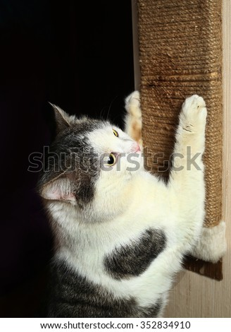 male tom well being cat indoors exercise his claws against cat scratcher scratch - stock photo