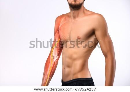 Male Torso Arm Musculature Anatomy Human Stock Photo Edit Now