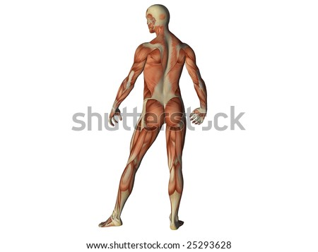 Male torso showing muscles from behind isolated on white