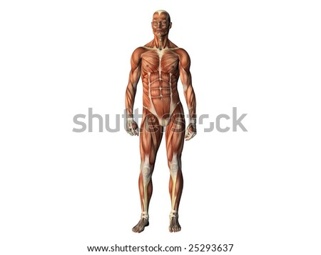 Male torso showing muscles from front isolated on white