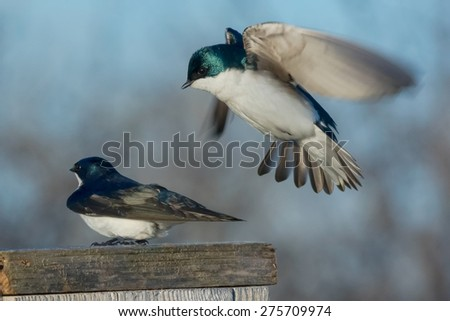 Male Tree Swallow hovering over a female getting ready to mate. - stock photo