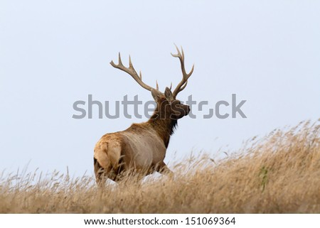 Male Tule Elk standing up in the grass, Point Reyes National Seashore, CA - stock photo