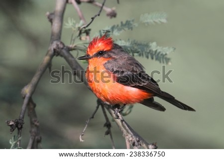 Male Vermilion Flycatcher (Pyrocephalus rubinus) on a perch with a green background - stock photo