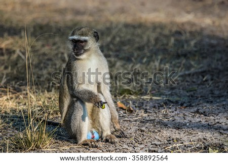 Male vervet monkey (Chlorocebus pygerythrus) sitting on the ground. Moremi game reserve, Okavango delta in Botswana, Africa.