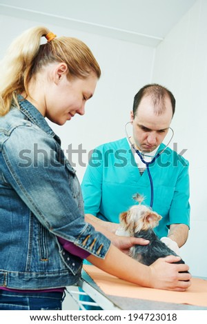 male veterinarian surgeon worker treating examining west highland white terrier dog in veterinary surgery clinic - stock photo