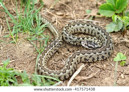 male Vipera ursinii rakosiensis on natural habitat ( hungarian meadow adder ) - stock photo