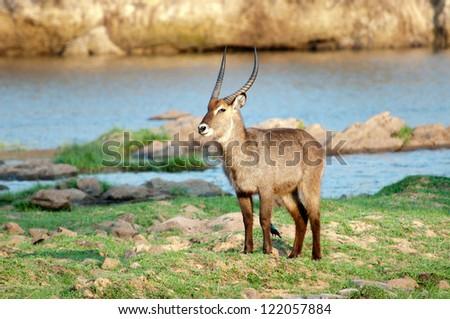 Male Waterbuck Bull surveying territory. Ruaha National Park, Tanzania. - stock photo