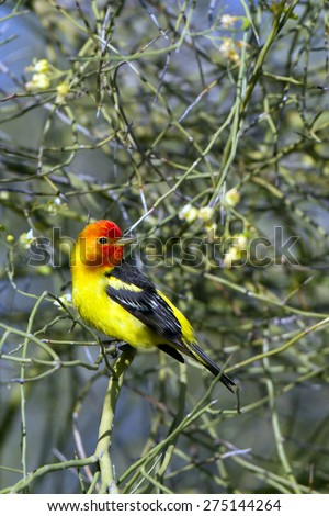 Male Western Tanager in breeding plumage amid Palo Verde flowers in southern Arizona - stock photo