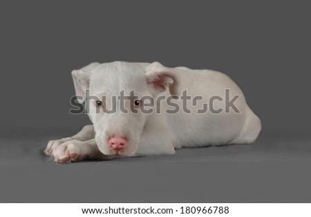 Male white argentinian dogo puppy poses in a gray background