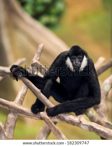 Male white-cheeked gibbon (Nomascus leucogenys) resting on branches of a tree
