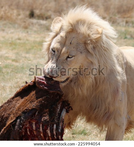 Male White Lion eating - stock photo
