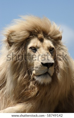 Male white lion (panthera leo) resting in the African sun - stock photo