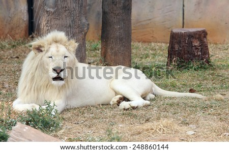Male white lion resting on ground. - stock photo