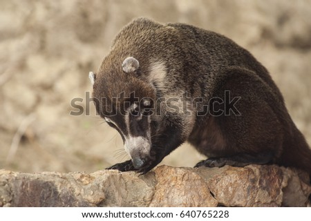 Male white nosed coati cleans his paw while grooming