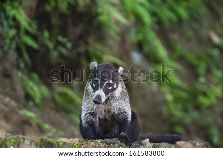 Male white nosed coati sits on a rock wall