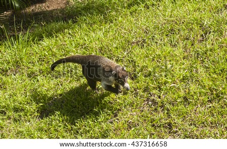 Male white-nosed coati walks across the grass