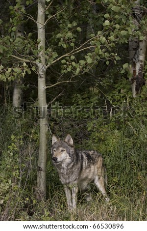 Male Wolf stands in the woods