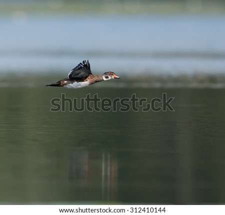 Male Wood Duck Drake in Flight