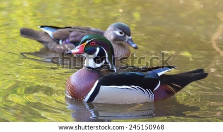 Male Wood Duck, Duck on Water, Carolina Duck, Bird, Duck, Bird on Water, Green - stock photo