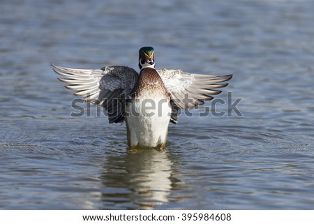 Male Wood Duck flapping wings - stock photo