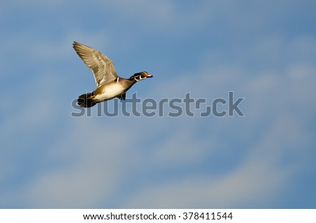 Male Wood Duck Flying in a Blue Sky - stock photo
