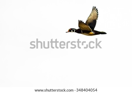 Male Wood Duck Flying on a White Background - stock photo