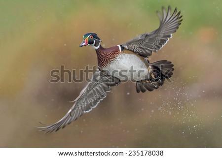 Male Wood Duck in Flight - stock photo