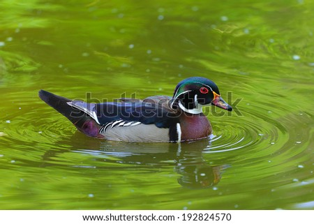 male Wood Duck. national park, Aix sponsa - stock photo