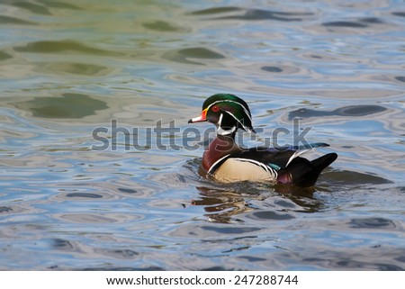 Male wood duck swimming in a lake - stock photo