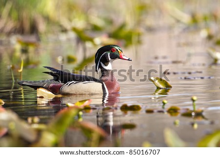 Male Wood Duck swimming in a swamp. - stock photo