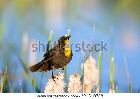 Male Yellow-headed Blackbird sings in a Colorado marsh with beautiful light - stock photo