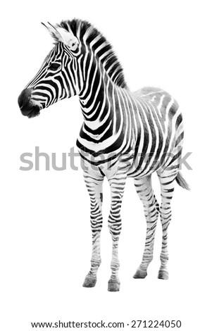 Male zebra isolated on white background  - stock photo
